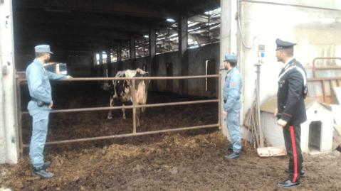 """carabinieri-forestale-sequestro Carabinieri Forestali ed E.N.P.A. eseguono il sequestro dei bovini di """"Cascina Moretti"""" Cronaca Milano Prima Pagina"""